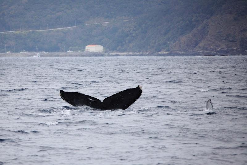IMG 9783 座間味の常連クジラ。