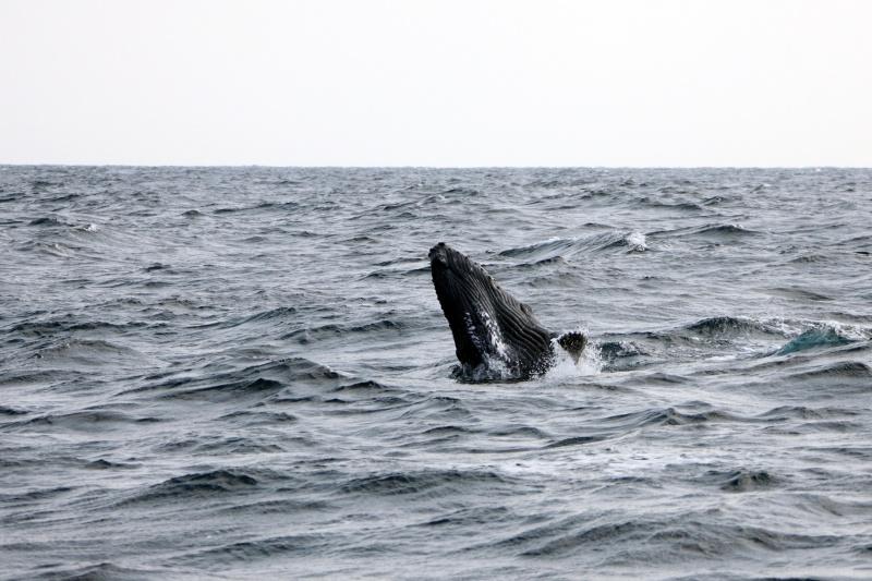 IMG 0653 久しぶりのクジラ撮影。